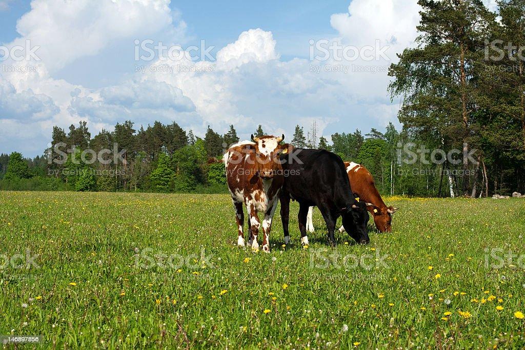 Brown  white cow , bovine royalty-free stock photo