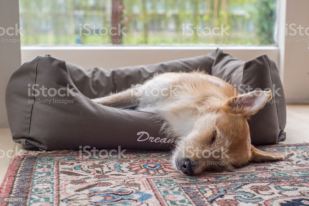 brown white dog sleeps in dog bed stock photo