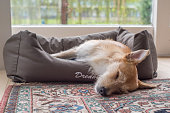 brown white dog sleeps in dog bed