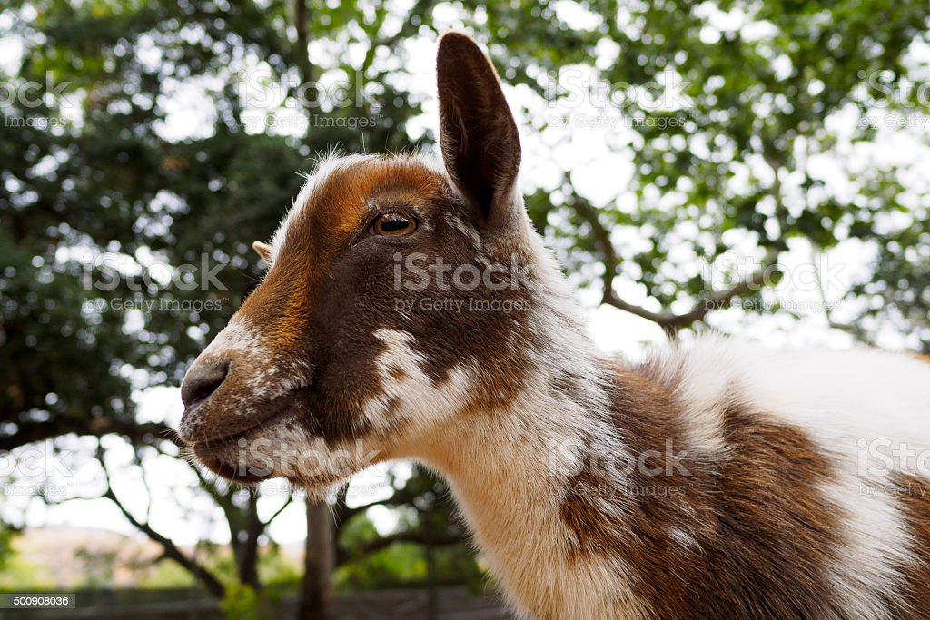 brown white goat, face closeup stock photo