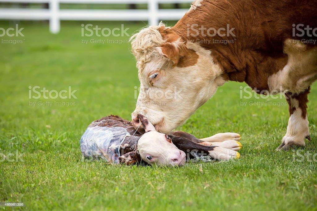Brown & White Hereford Cow Licking Her Newborn Calf stock photo