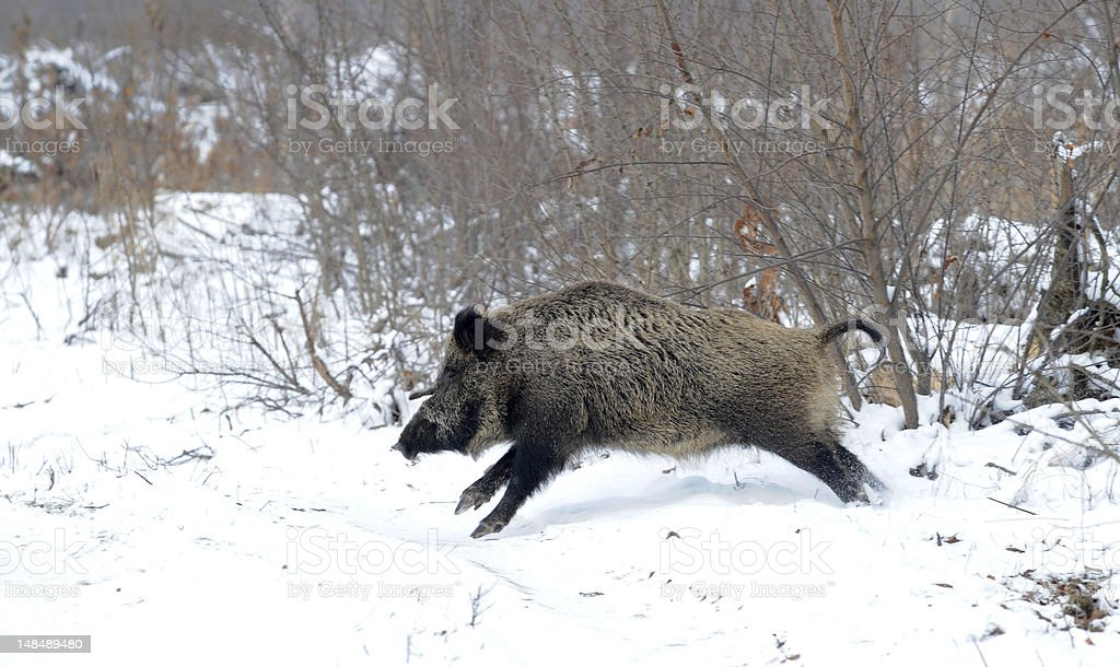 A brown wild boar running in the middle of winter stock photo