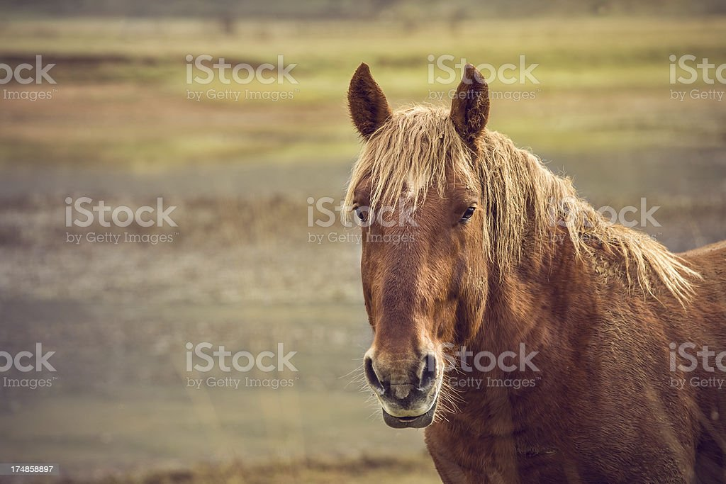 Brown wild horse with copyspace royalty-free stock photo