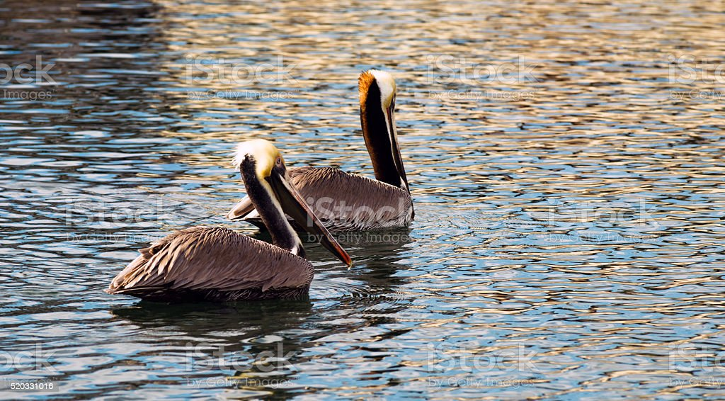 Brown Wild Pelican Bird San Diego Bay Animal Wildlife stock photo