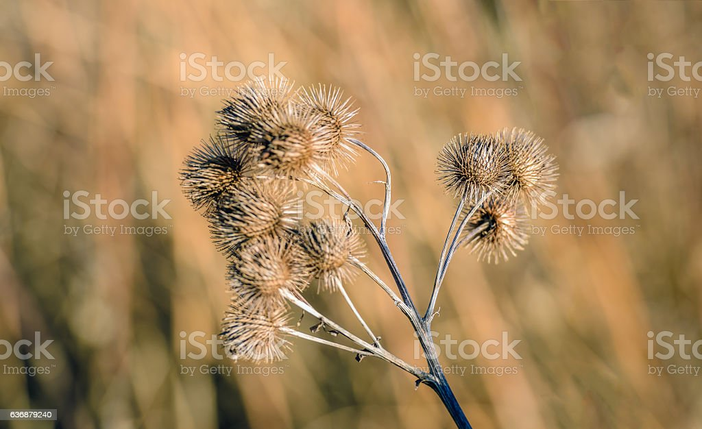 Brown withered lesser burdock stems and seedheads from close stock photo