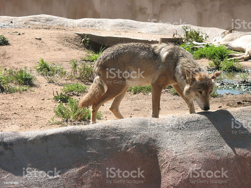 Brown wolf royalty-free stock photo