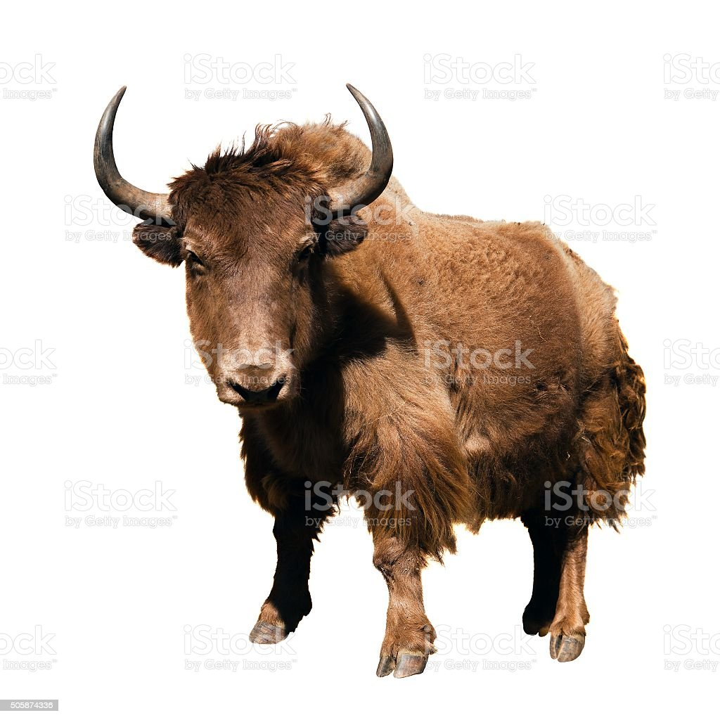 brown yak (Bos mutus) isolated on white background stock photo