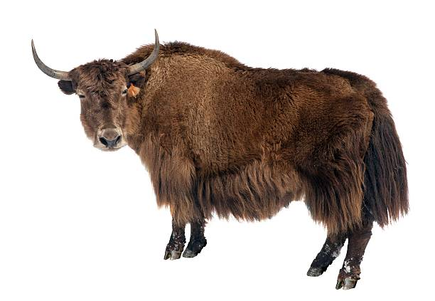 Image Of A Yak: Yak Pictures, Images And Stock Photos