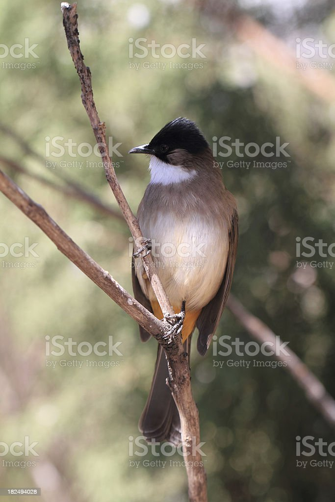 Brown-breasted Bulbul stock photo