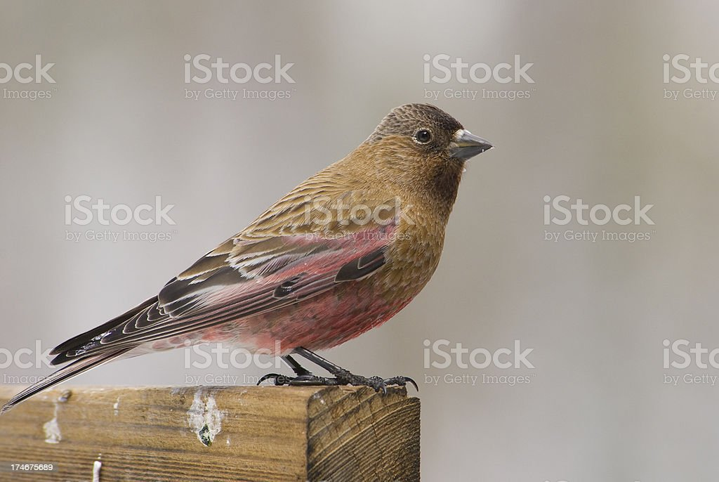 Brown-Capped Rosy-Finch stock photo