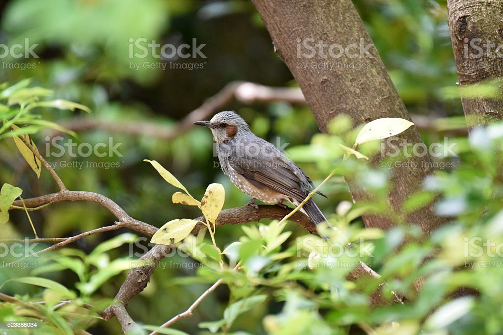 Brown-eared bulbul stock photo