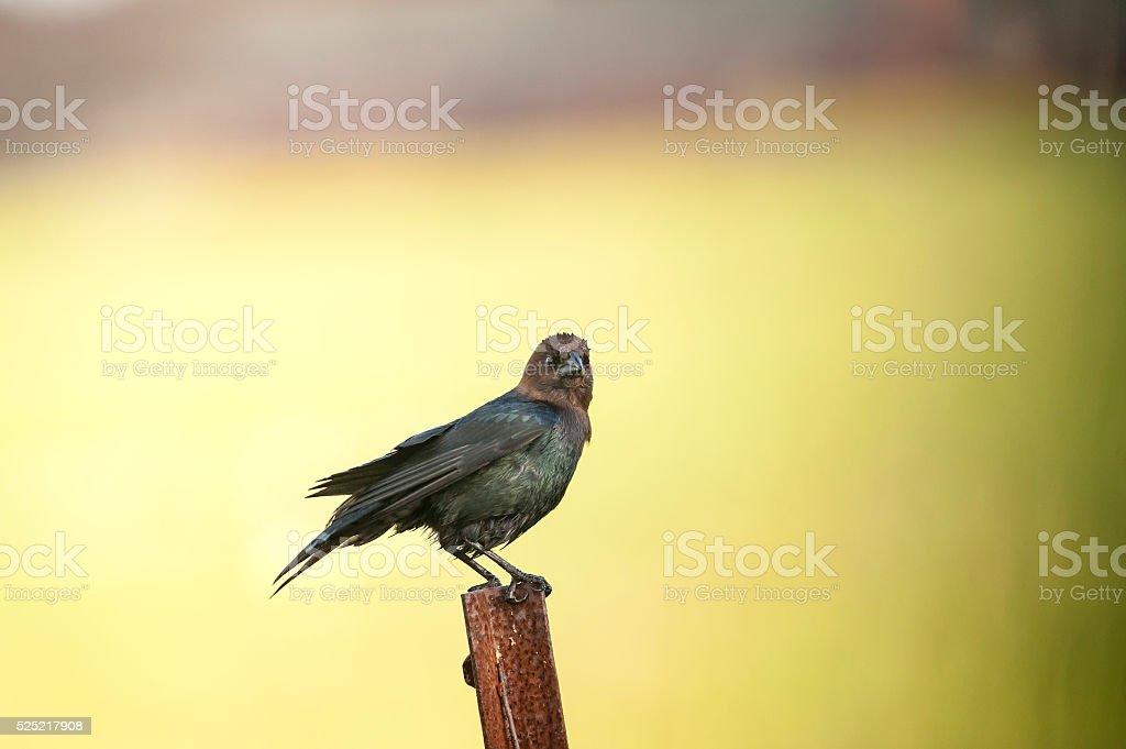 Brown-headed Cowbird eye contact stock photo