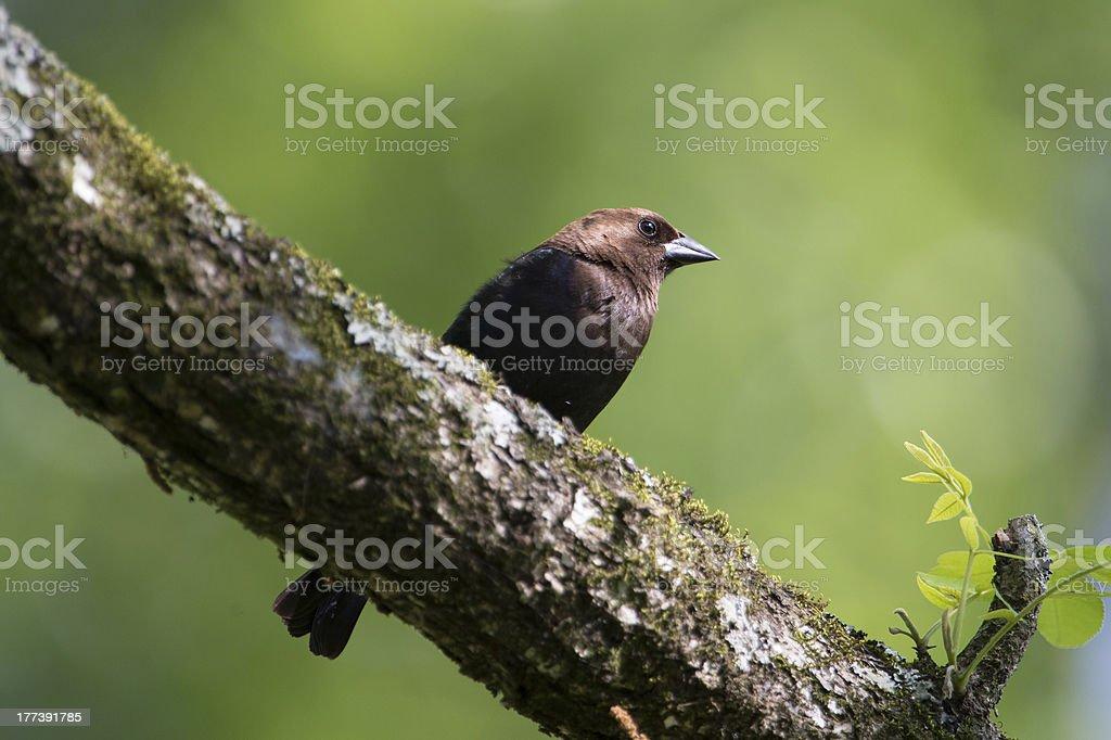 Brown-headed Cowbird male on tree limb stock photo