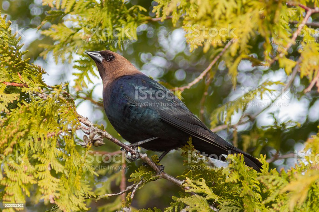Brown-headed Cowbird perched in a cedar tree stock photo