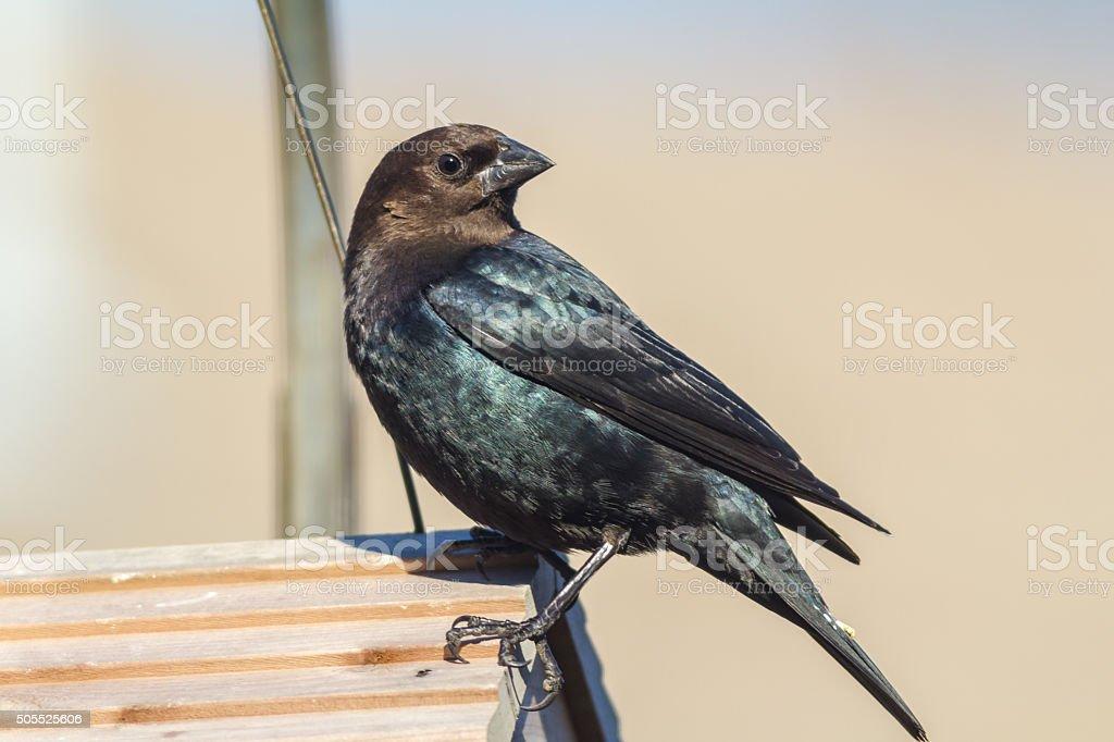 Brown-headed Cowbird (Molothrus ater) stock photo