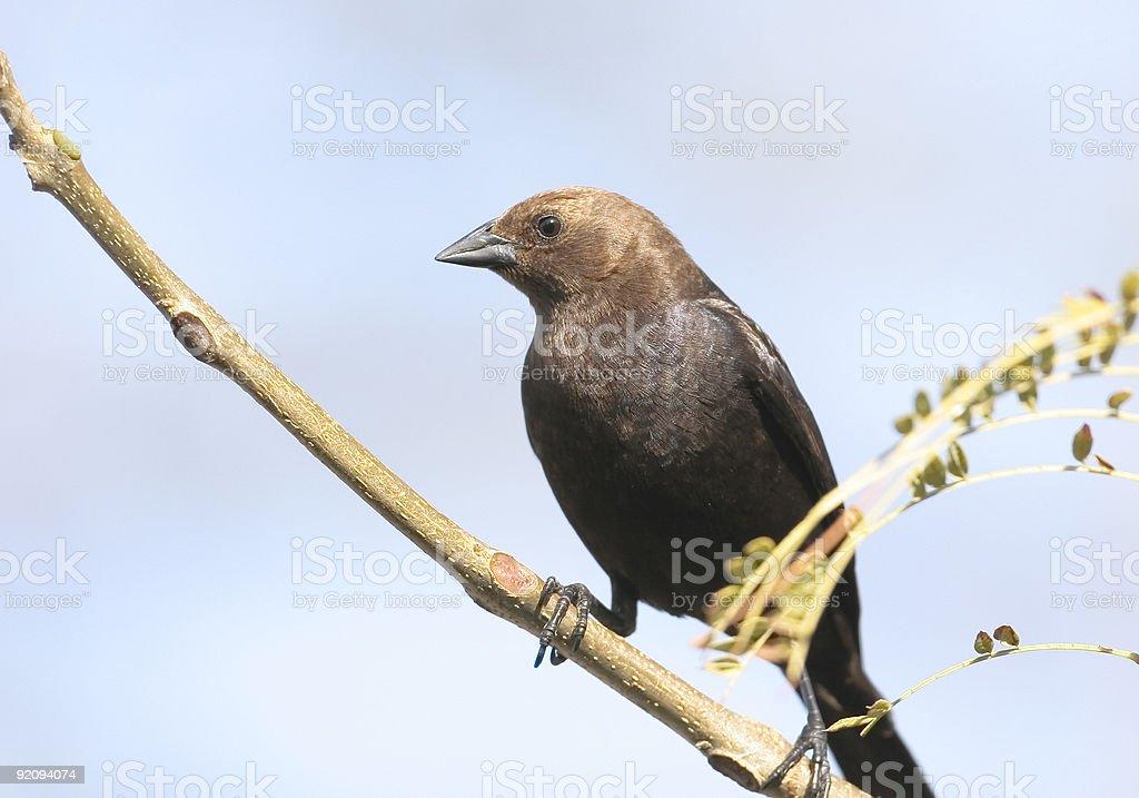 Brown-headed Cowbird stock photo