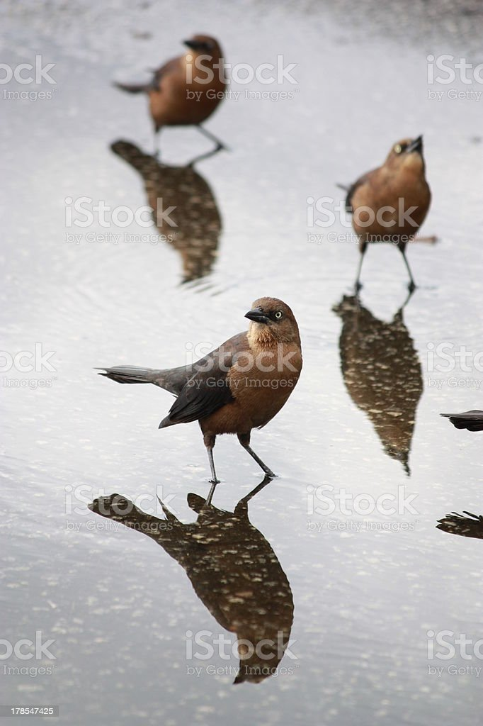 Brown-headed Cowbirds in a Puddle stock photo