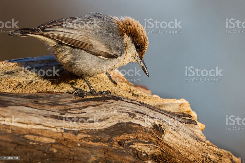 Brown-headed Nuthatch stock photo