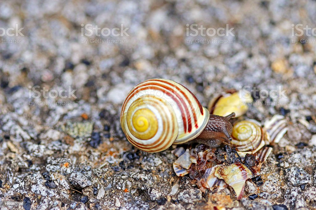 Brown-lipped snail crawling on broken shell stock photo