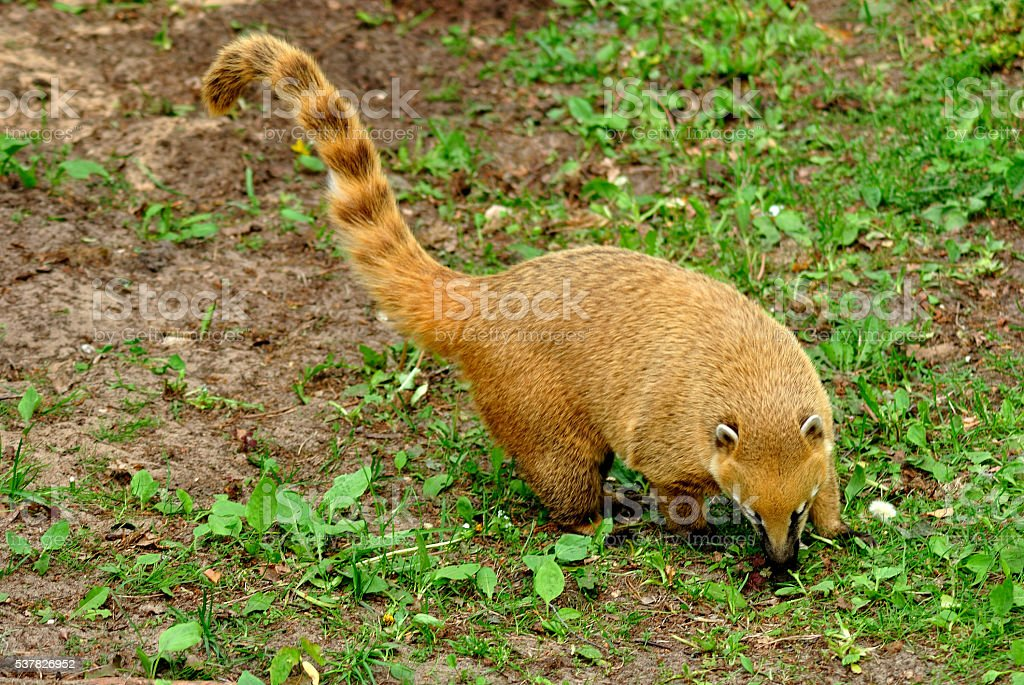 Brown-nosed Coati standing and sniffing the grass stock photo