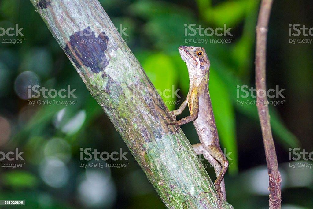 Brown-patched Kangaroo lizard in Sinharaja, Sri Lanka stock photo
