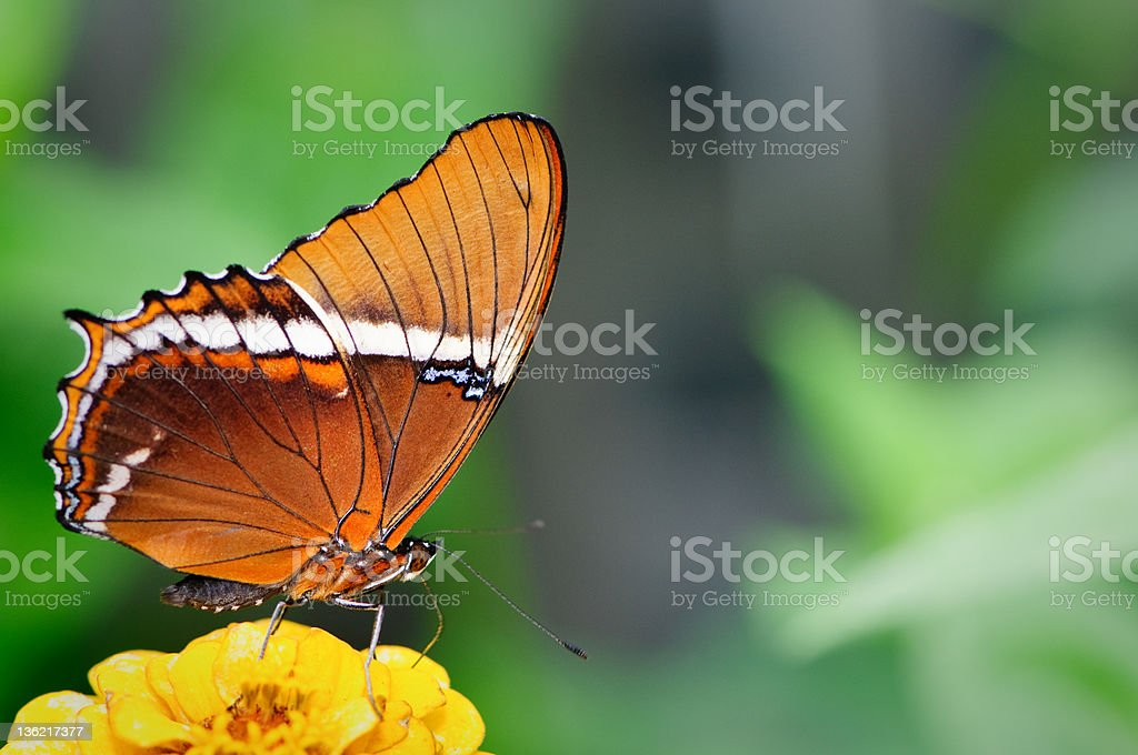 Browntip Butterfly  (Siproeta epaphus) royalty-free stock photo