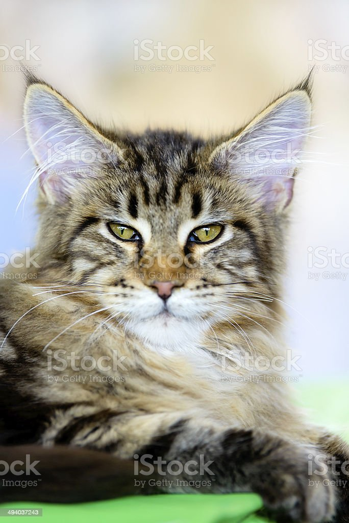Brown-white tabby Maine Coon cat stock photo