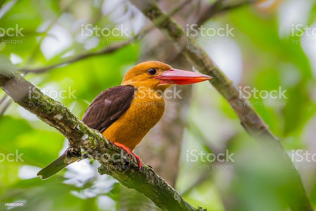 Brown-winged Kingfisher (Halcyon amauroptera) stock photo