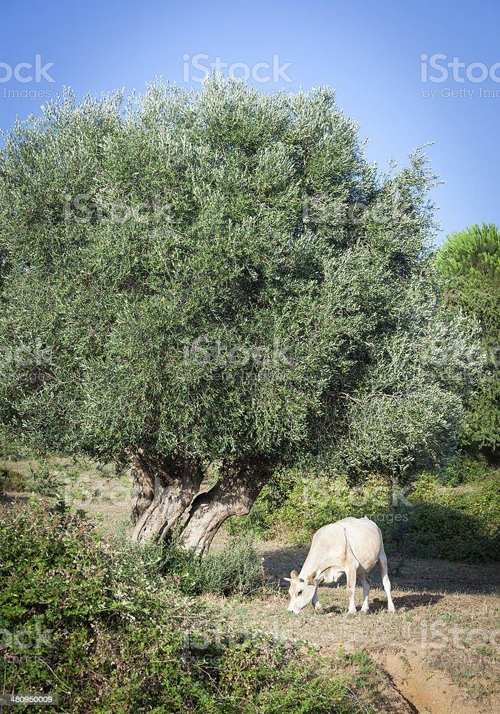 Browsing Cow Near Tree royalty-free stock photo