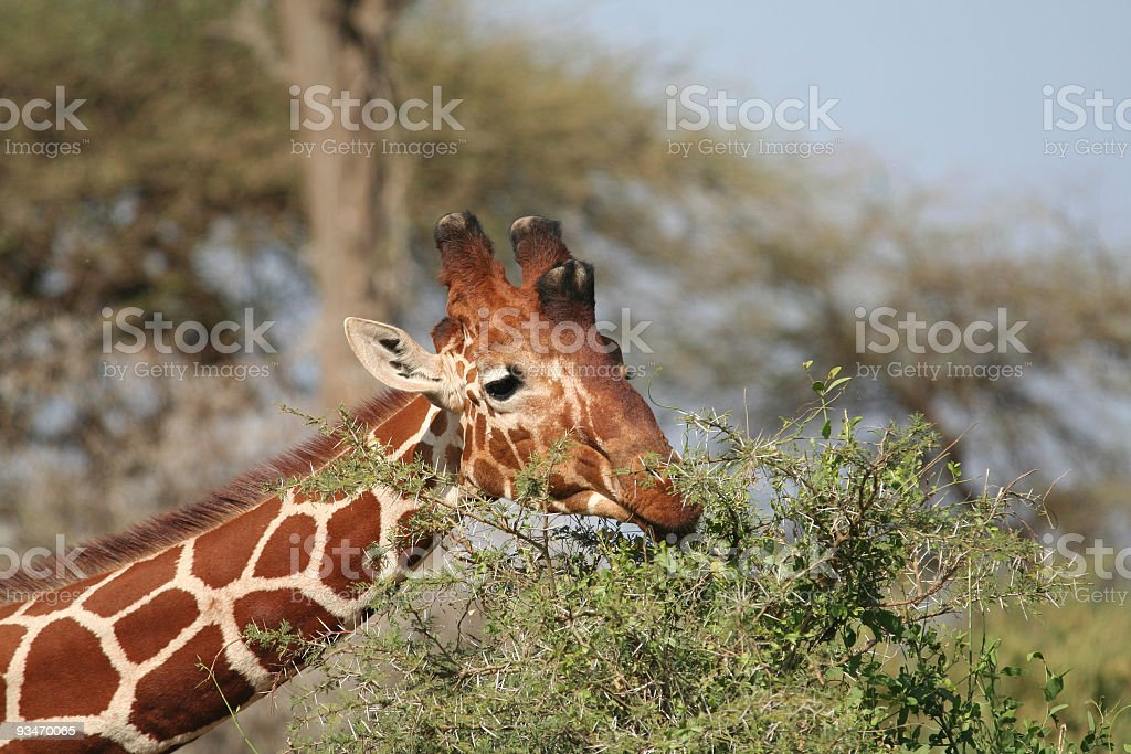 Browsing Reticulated Giraffe stock photo
