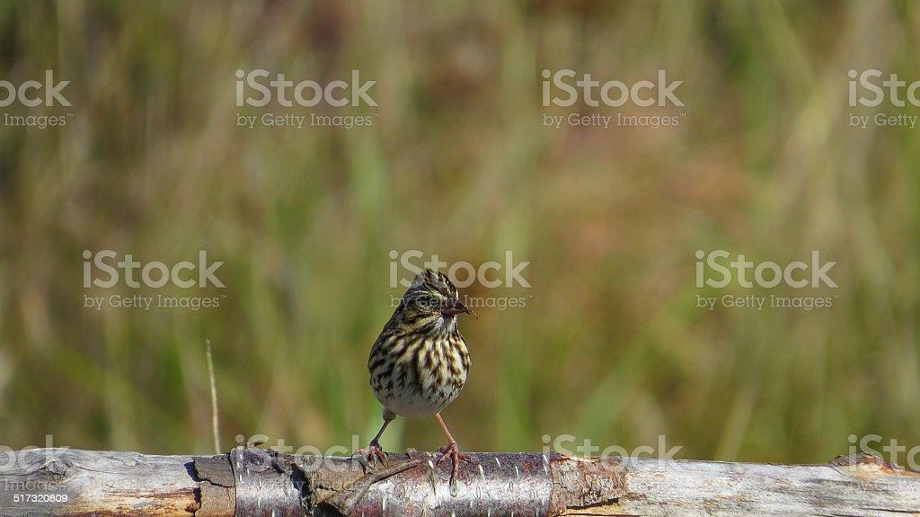 Bruant des pr?s - Savannah sparrow stock photo
