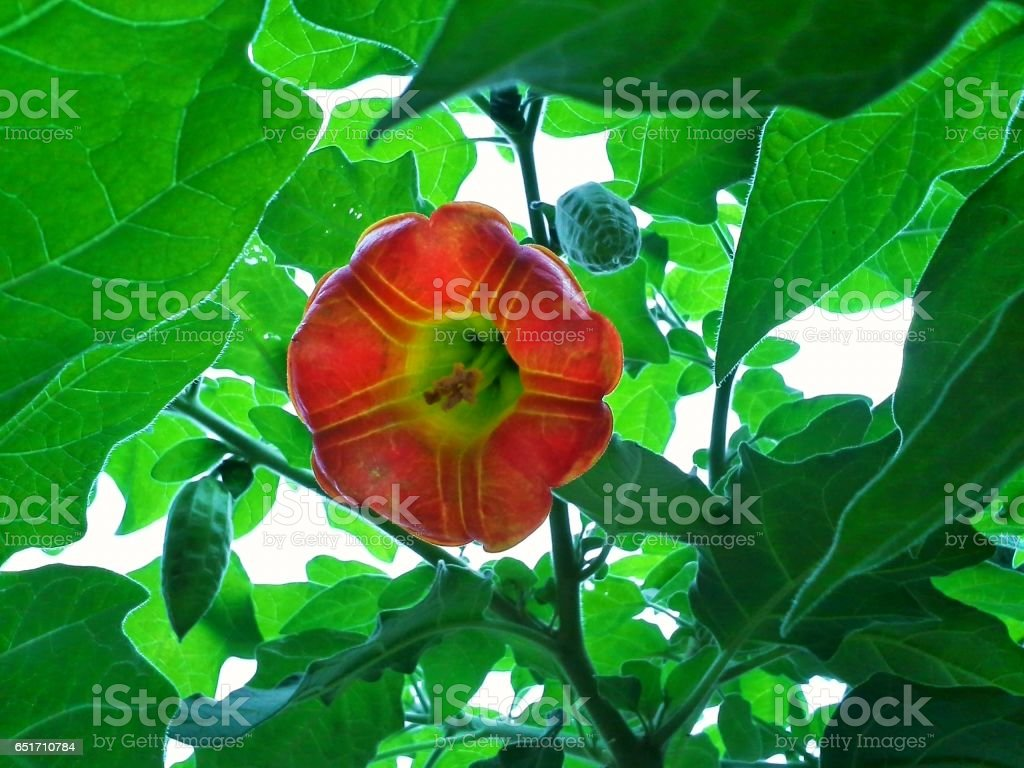 Brugmansia Flower and Bud Hanging Amongst Leaves stock photo