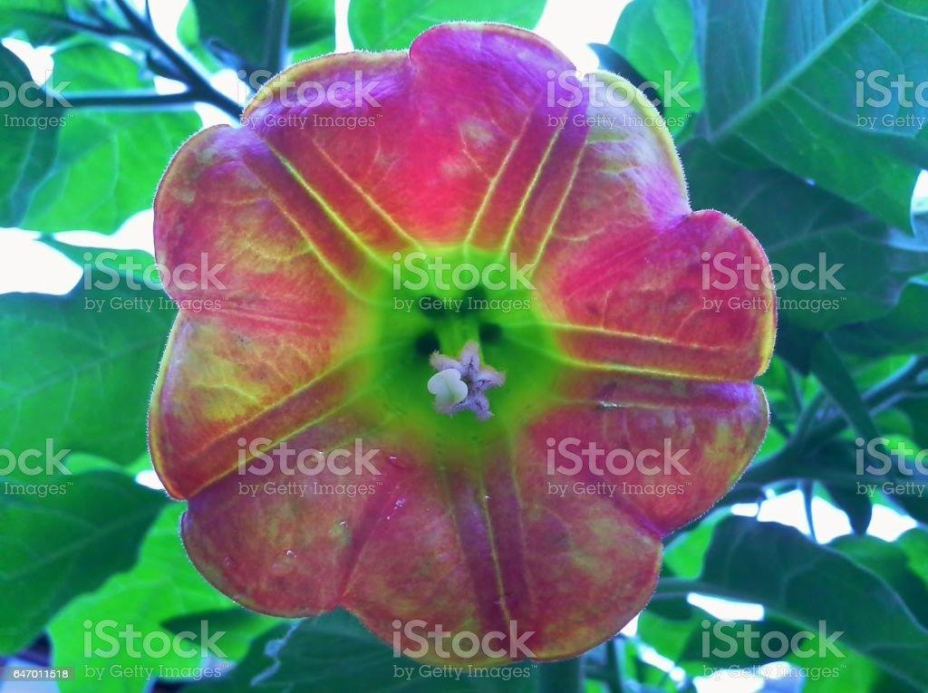 Brugmansia Sanguinea / Angel's Trumpet Flower Head stock photo