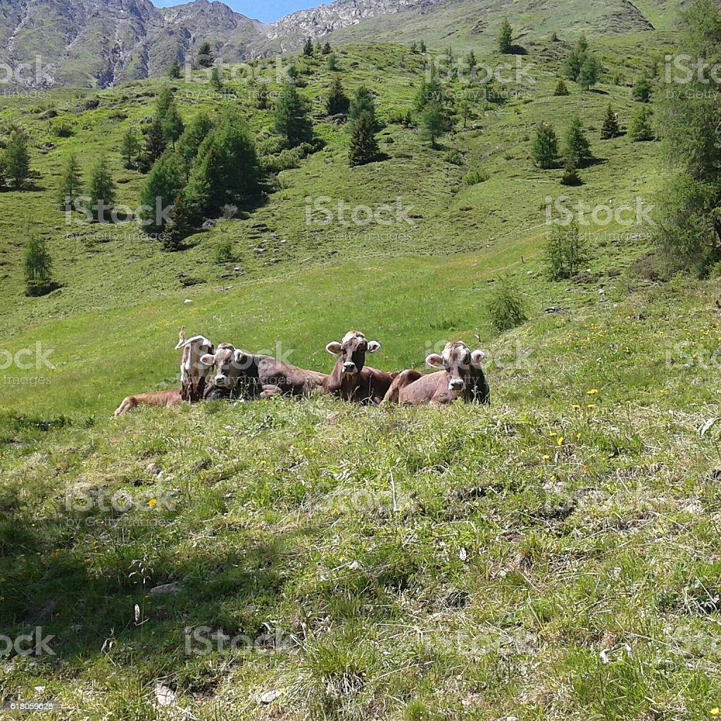 Bruna Alpina, 1st of July 2016 stock photo
