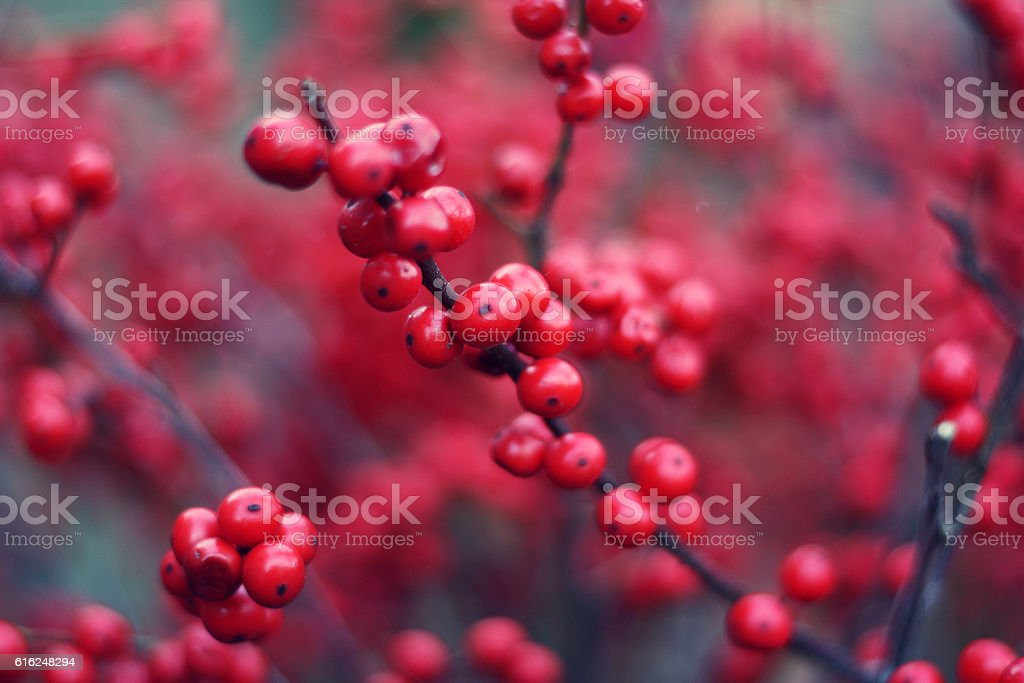 Brunch with red buckthorn berries. stock photo