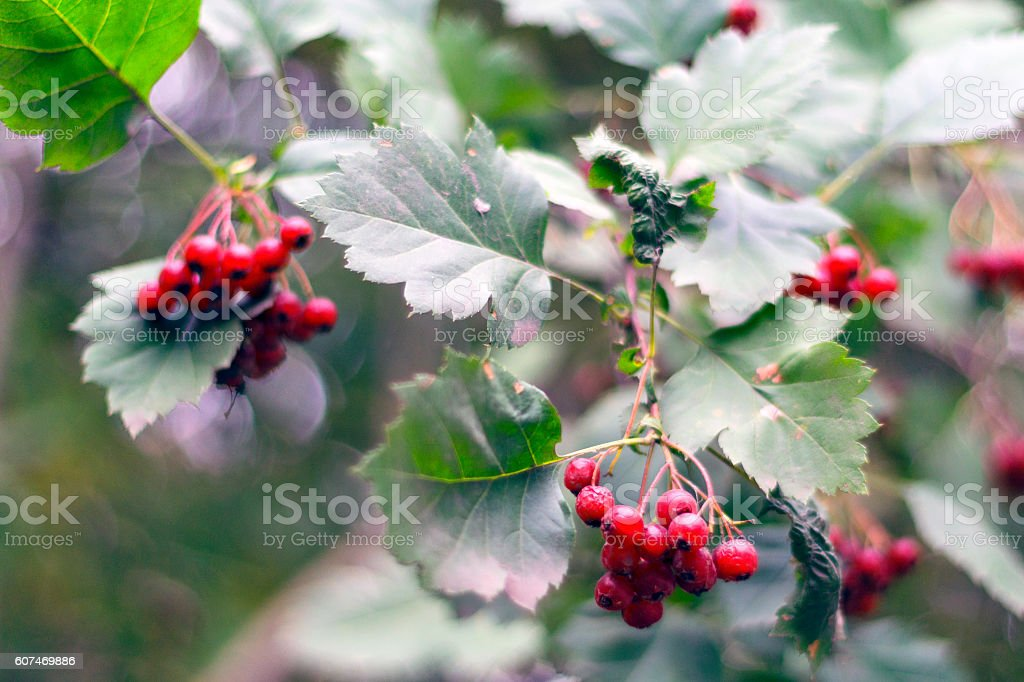Brunch with red fruit of hawthorn. Crataegus sanguinea stock photo