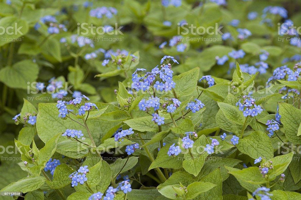 Brunnera macrophylla royalty-free stock photo