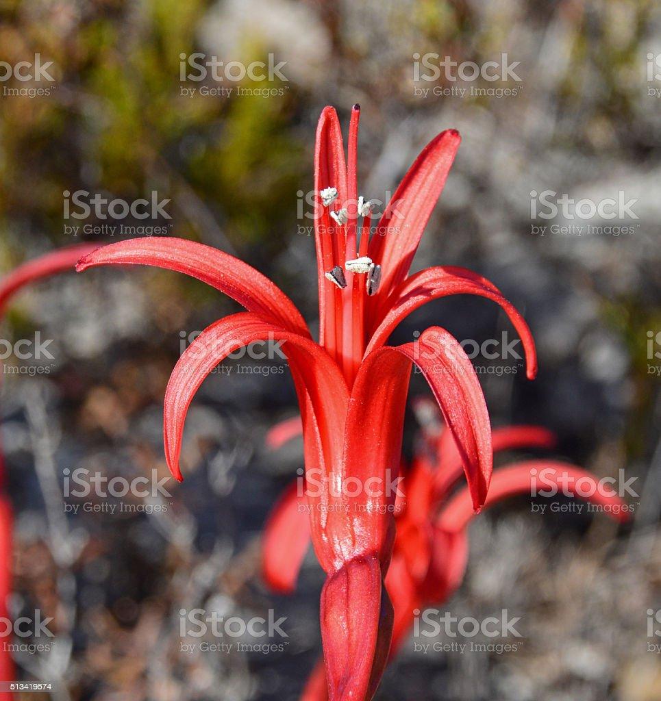 Brunsvigia Orientalis (detail) stock photo