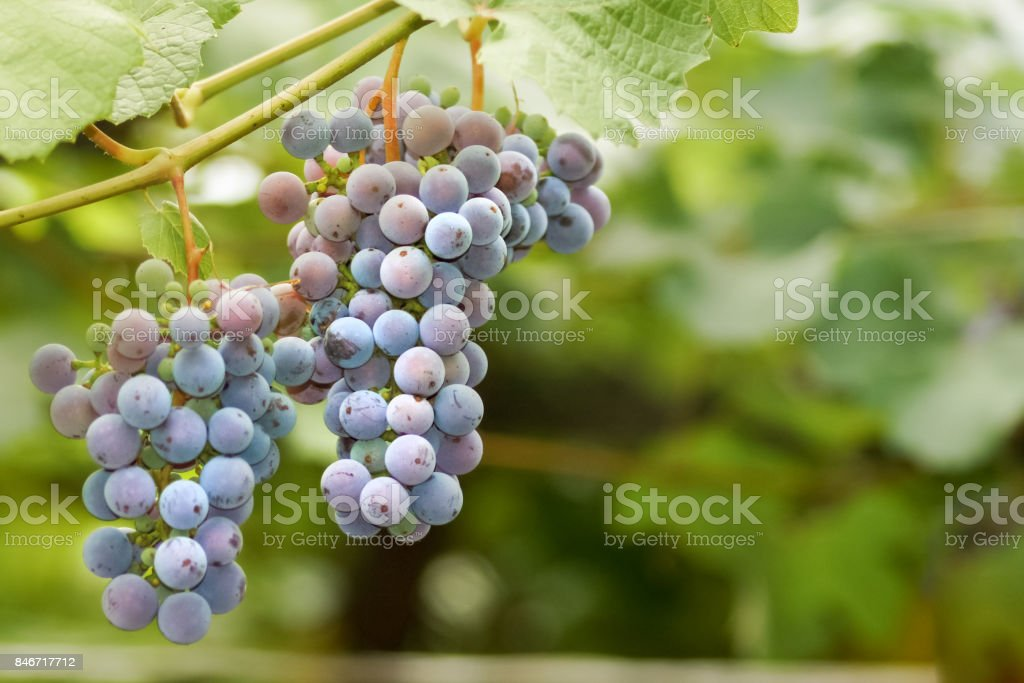 brush ripe grapes hanging on the vine stock photo
