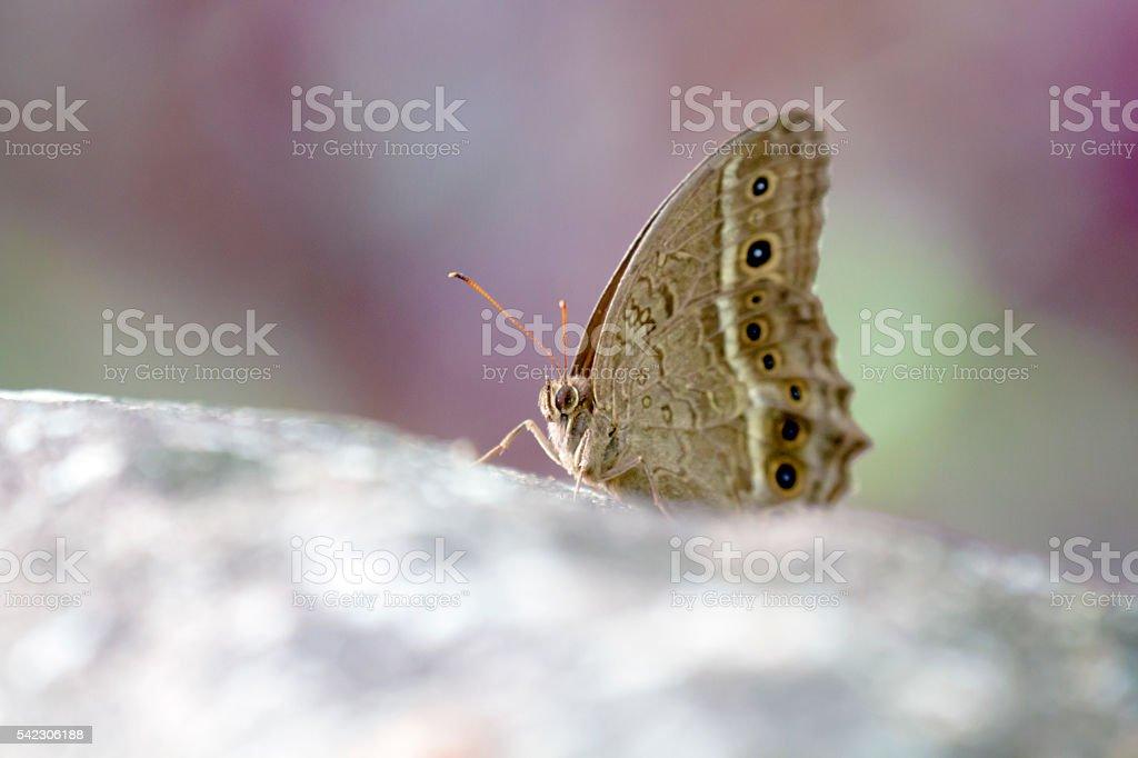 brush-footed butterflies,Satyrinae stock photo