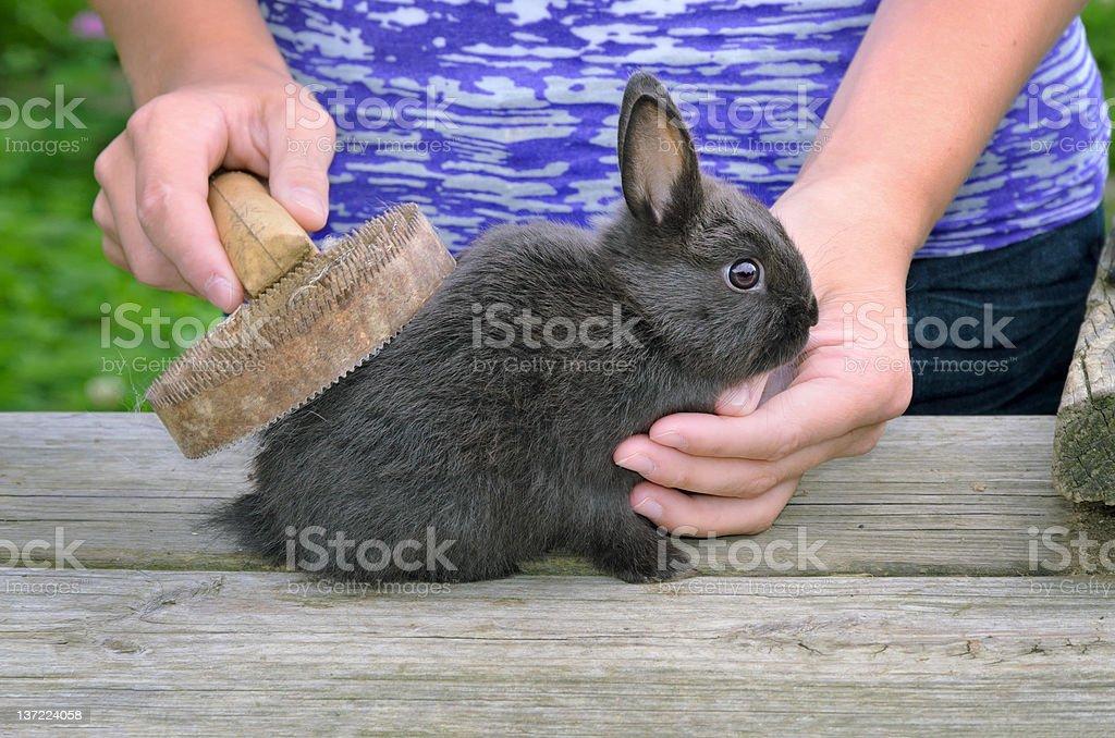 Brushing Rabbit royalty-free stock photo