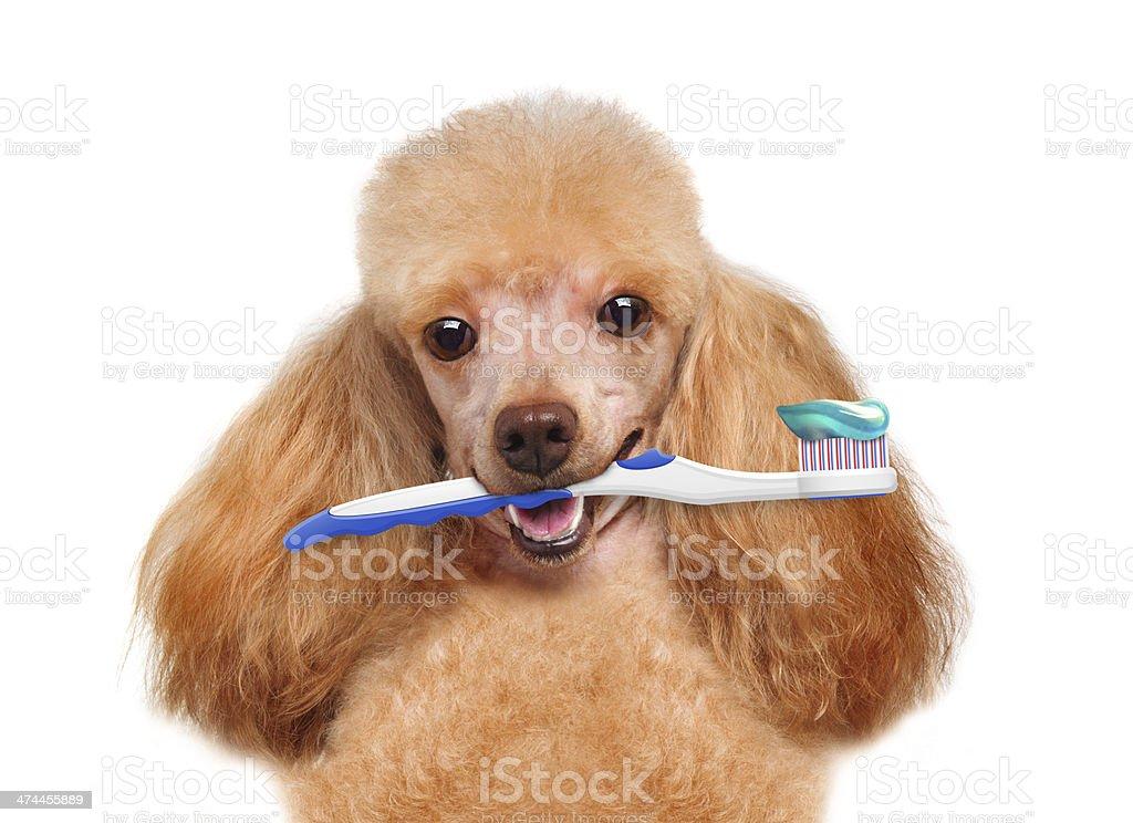 brushing teeth dog stock photo