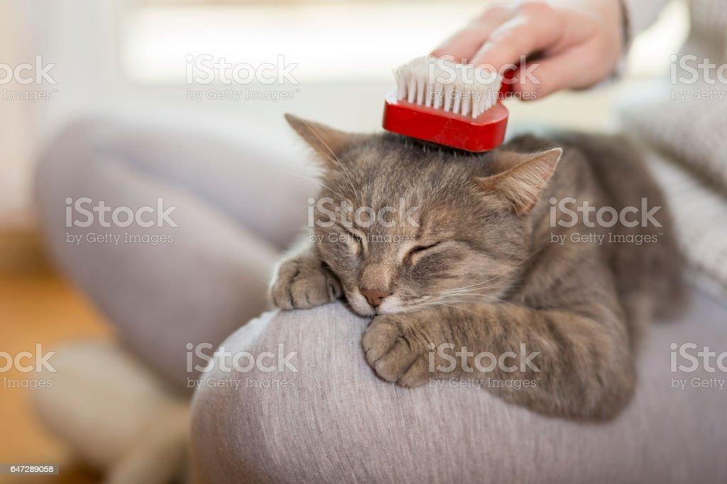 Brushing the cat stock photo