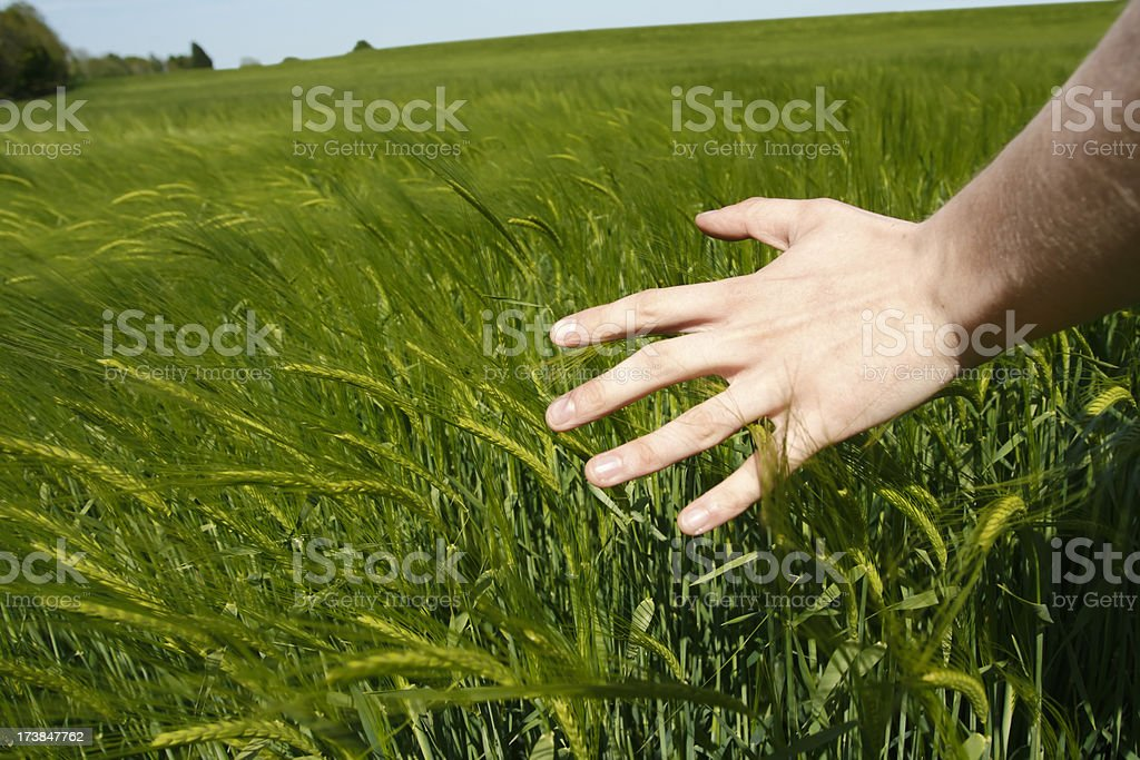 Brushing the Crop royalty-free stock photo