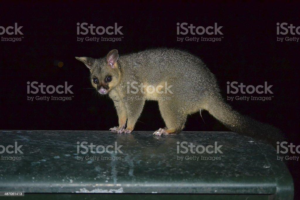 Brushtail possum stock photo