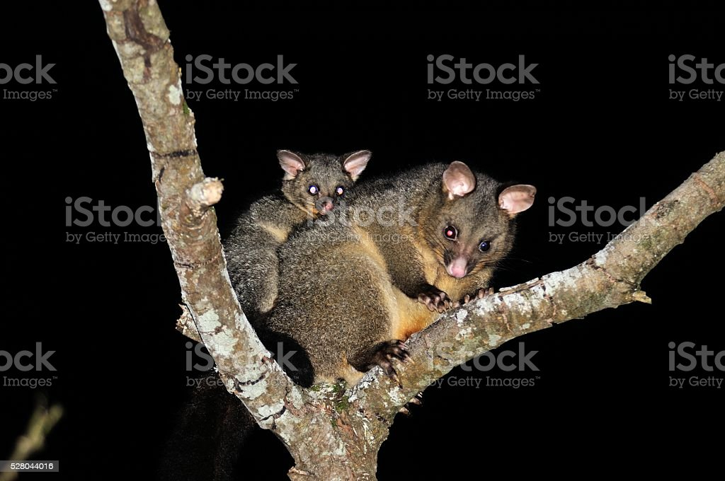 Brush-tail Possum stock photo