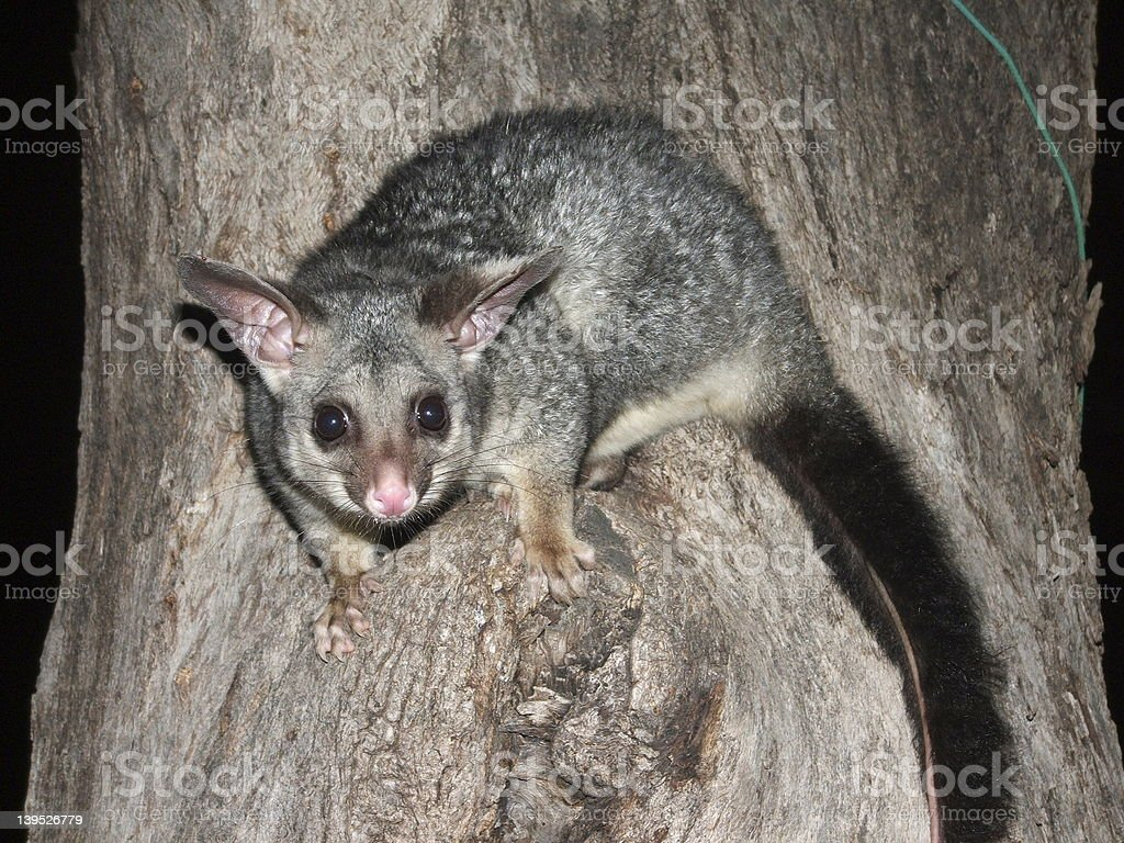 Brush-Tailed Possum in a tree royalty-free stock photo