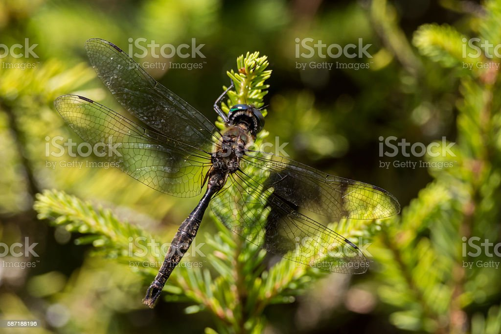 Brush-tipped Emerald Dragonfly stock photo