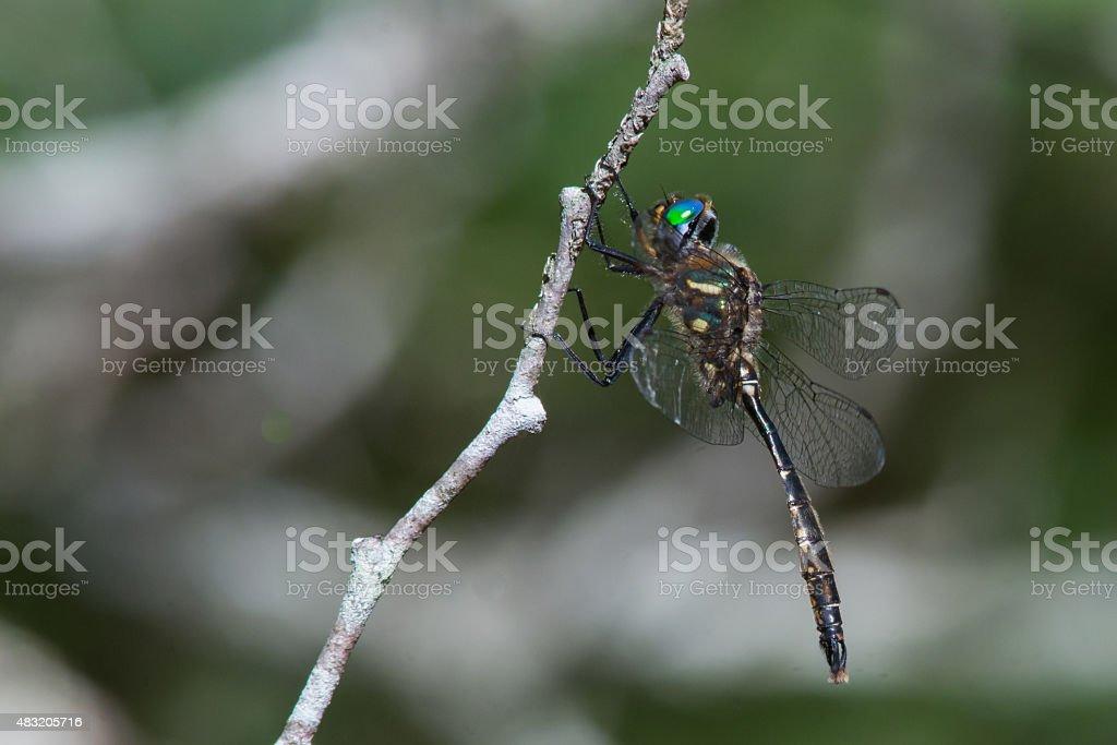 Brush-tipped Emerald stock photo