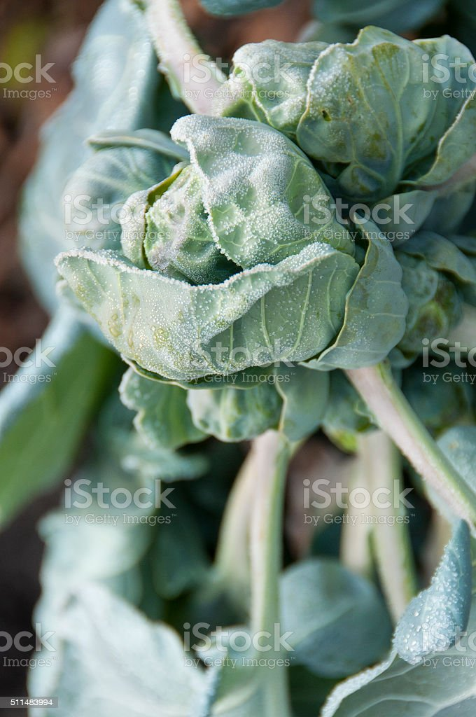 Brussels sprouts at frost close up stock photo